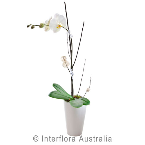 Exquisite - Phalaenopsis plant - Birthday / Congratulations,Sympathy / Funerals,Get Well,Any Occasion,Mothers Day